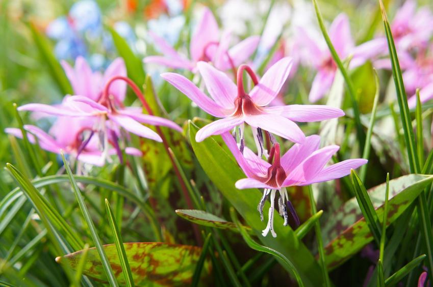 Psiząb w czasie kwtnienia i inne najciekawsze rośliny wiosenne i kwiaty wiosenne do ogrodu w Polsce oraz ich uprawa