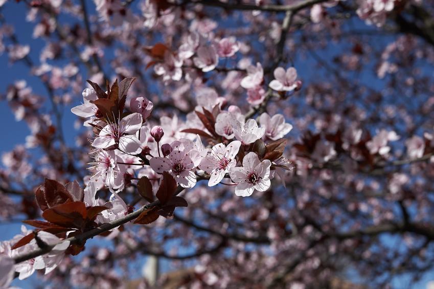 Śliwa w czasie kwtnienia i inne najciekawsze rośliny wiosenne i kwiaty wiosenne do ogrodu w Polsce oraz ich uprawa