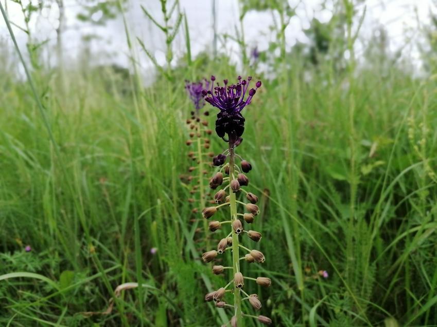 Szafirek w czasie kwtnienia i inne najciekawsze rośliny wiosenne i kwiaty wiosenne do ogrodu w Polsce oraz ich uprawa