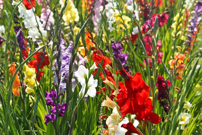 Kolorowe mieczyki w ogrodzie, a także opis gatunku, ciekawe odmiany, uprawa, pielęgnacja oraz wymagania co do sadzenia