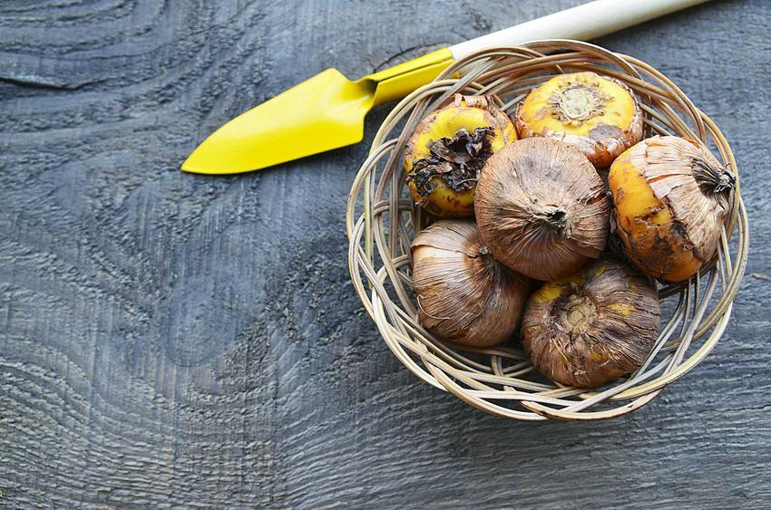 Cebulki mieczyków w koszyczku wiklinowym, a także sadzenie cebulek meczyków, uprawa, pielęgnacja, sadzenie krok po kroku