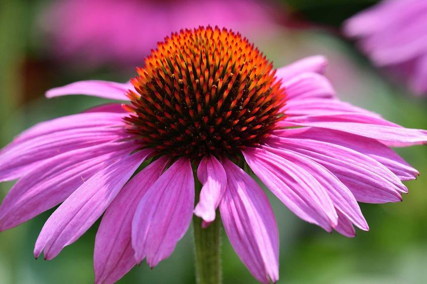 Jeżówka purpurowa o różowych kwiatach w ogrodzie, a także właściwości rośliny, zastosowanie, stanowisko oraz wymagania