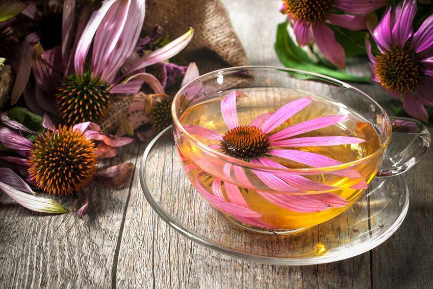 Herbata z jeżówki purpurowej, a także zastosowanie rośliny, właściwości lecznicze, zastosowanie, stanowisko oraz wymagania