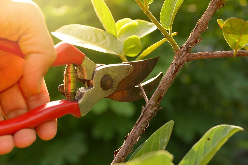Cięcie drzewa owocowego sekatorem, a także przycinanie drzew owocowych krok po kroku w ogrodzie