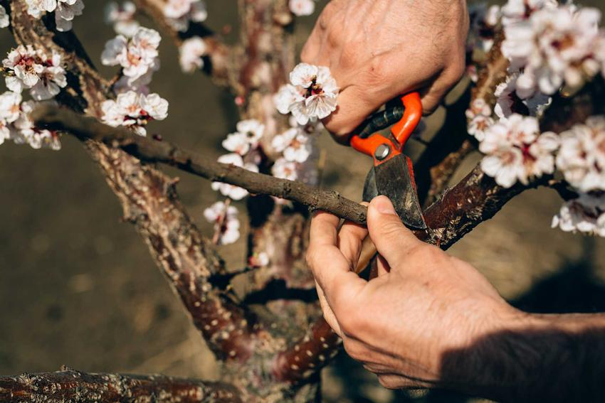Przycinanie starych pędów kwitnących wiśni, a także przycinanie drzew owocowych w ogrodzie krok po kroku