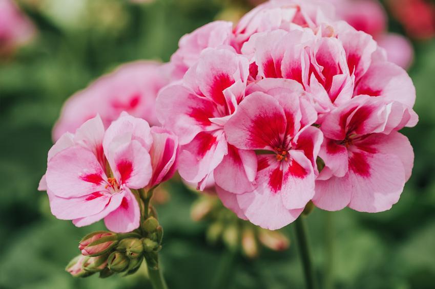 Bodziszek w czasie kwitnienia, a także inne najpiękniejsze kwiaty do ogrodu, czyli polecane kwiaty ogrodowe, krzewy ozdobne i byliny
