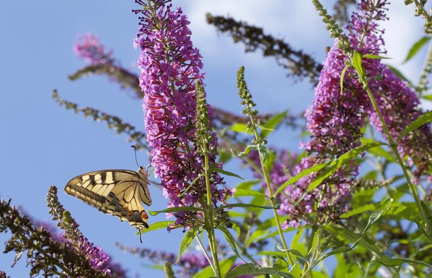 Budleja w czasie kwitnienia, a także inne najpiękniejsze kwiaty do ogrodu, czyli polecane kwiaty ogrodowe, krzewy ozdobne i byliny