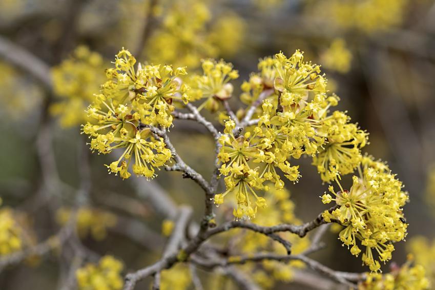 Dereń w czasie kwitnienia, a także inne najpiękniejsze kwiaty do ogrodu, czyli polecane kwiaty ogrodowe, krzewy ozdobne i byliny