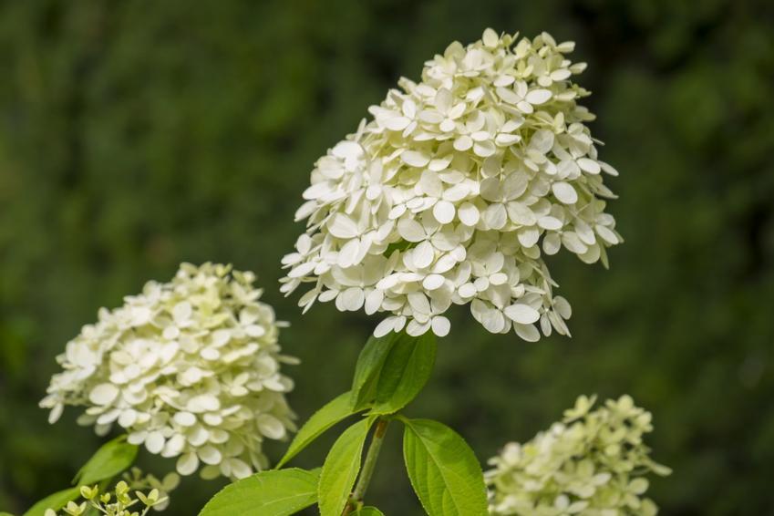 Hortensja w czasie kwitnienia, a także inne najpiękniejsze kwiaty do ogrodu, czyli polecane kwiaty ogrodowe, krzewy ozdobne i byliny