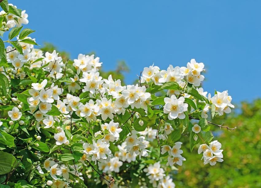 Jaśminowiec w czasie kwitnienia, a także inne najpiękniejsze kwiaty do ogrodu, czyli polecane kwiaty ogrodowe, krzewy ozdobne i byliny