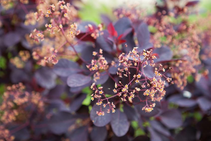 Perukowiec w czasie kwitnienia, a także inne najpiękniejsze kwiaty do ogrodu, czyli polecane kwiaty ogrodowe, krzewy ozdobne i byliny