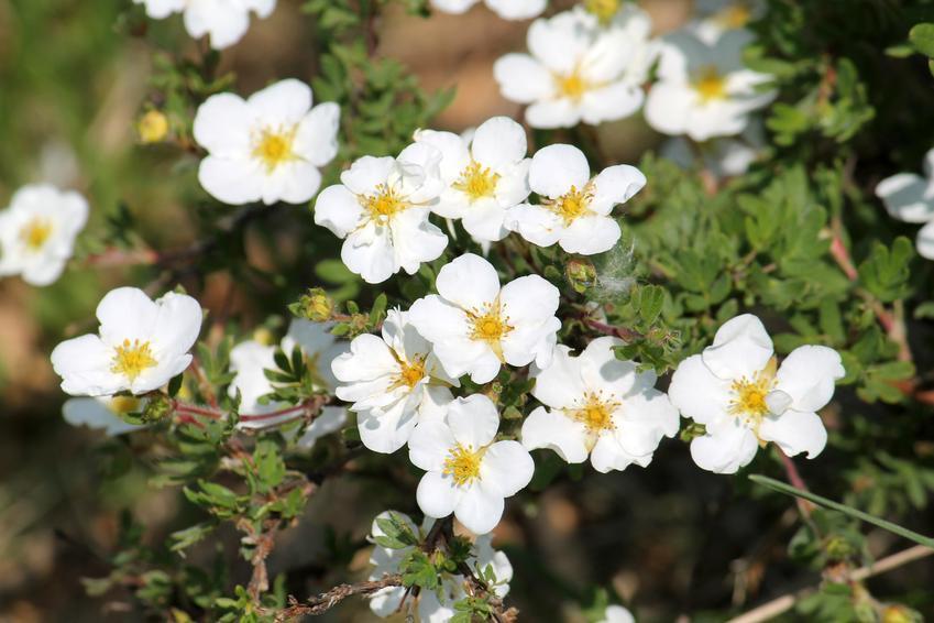 Pięciornik w czasie kwitnienia, a także inne najpiękniejsze kwiaty do ogrodu, czyli polecane kwiaty ogrodowe, krzewy ozdobne i byliny