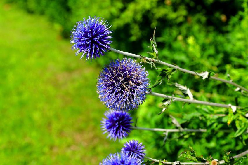 Przegorzan w czasie kwitnienia, a także inne najpiękniejsze kwiaty do ogrodu, czyli polecane kwiaty ogrodowe, krzewy ozdobne i byliny