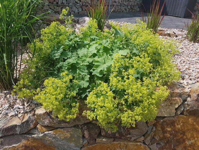 Przywrotnik w czasie kwitnienia, a także inne najpiękniejsze kwiaty do ogrodu, czyli polecane kwiaty ogrodowe, krzewy ozdobne i byliny