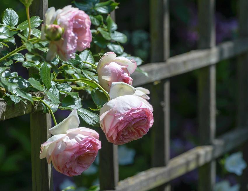 Różowo-białe róże pnące Eden Rose na kratce przy altanie, a także opis odmiany, opinie, uprawa, pielęgnacja oraz cena sadzonek