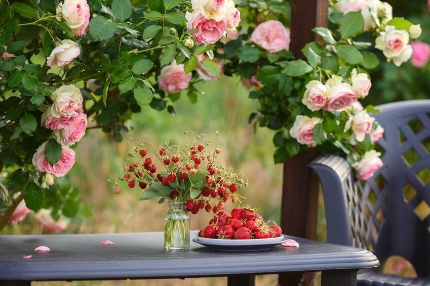 Róże Eden Rose pnące w ogrodzie na pergoli na altanie, a także uprawa, pielęgnacja, cena oraz opinie o odmianie