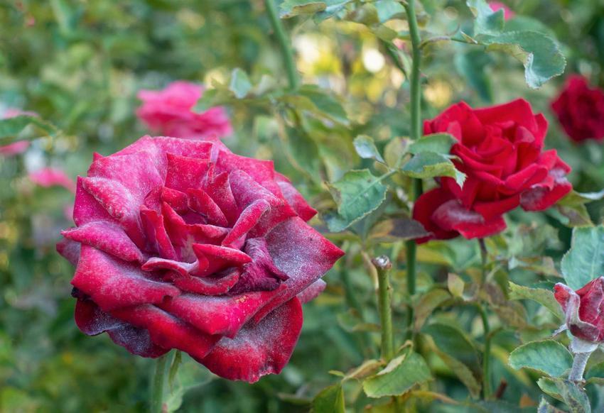 Kwiaty czerwonej róży porażone chorobą, a także najczęstsze choroby róż, zwalczanie, zapobieganie, opryski