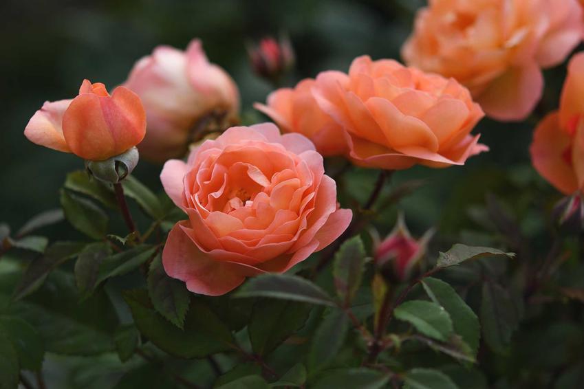 Róże wielkokwiatowe w łososiowym kolorze, a także popularne i mniej znane gatunki oraz odmiany róż krok po kroku