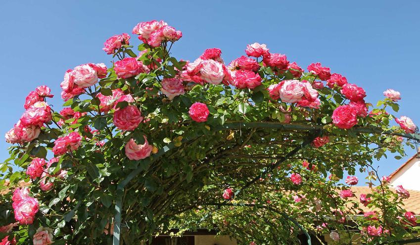 Róże pnące długo kwitnące na pergoli, a także inne gatunki róż do ogrodu oraz bardziej popularne odmiany