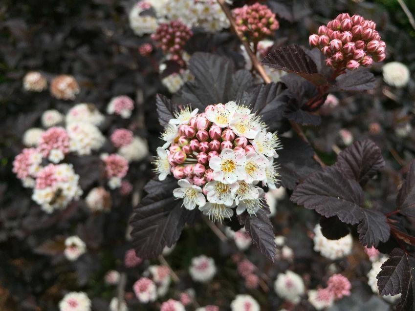 Pęcherznica 'Diabolo' o ciemnoczerwonych liściach i białych kwiatach, a także uprawa, pielęgnacja i zastosowanie krzewu