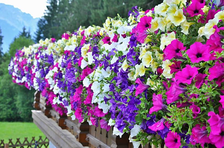 Petunia kaskadowa o kolorowych kwiatach wisząca z ogrodzenia na balkonie, a także wymagania petunii, pielęgnacja i uprawa w doniczkach na balkonie