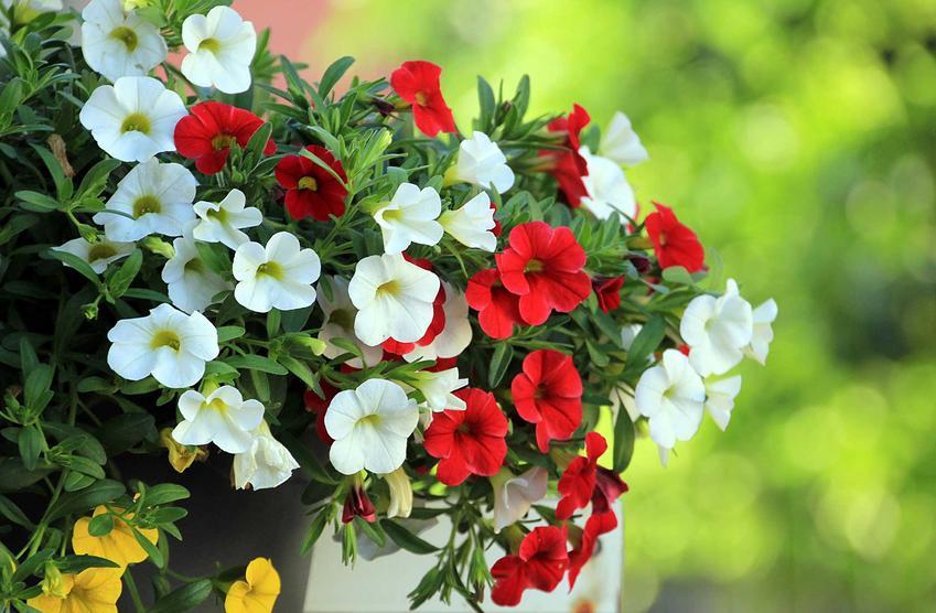Białe i czerwone petunie rosnące w doniczkach wystawione do ogrodu, a także wymagania i pielęgnacja