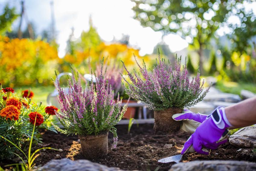 Fioletowe wrzosy sadzone do ogrodu, a także pielęgnacja, uprawa i wymagania wrzosów domowych i na balkon