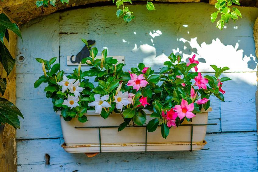 Dipladenia, czyli mandevilla o białych i różowych kwiatach, a także wymagania roślin, pielęgnacja, sadzenie, uprawa na balkonie
