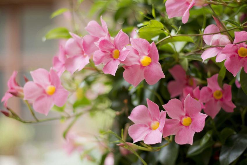 Mandevilla, czyli dipladenia o różowych kwiatach w doniczce, a także wymagania, pielęgnacja, uprawa na balkonie, sadzenie