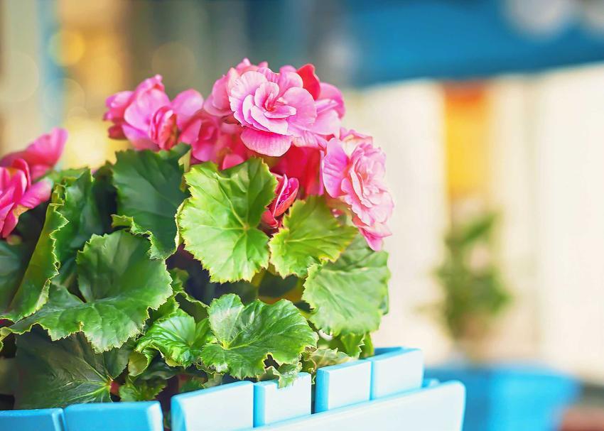 Begonia bulwiasta o różowych kwiatach, a także odmiany begonii, pielęgnacja, uprawa, sadzenie, wymagania w doniczkach i na balkonie