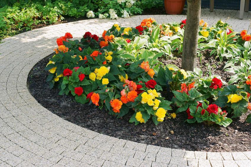 Kolorowe begonie bulwiaste na rabacie wokół drzewka, a także odmiany, pielęgnacja oraz uprawa i sadzenie begonii w ogrodzie