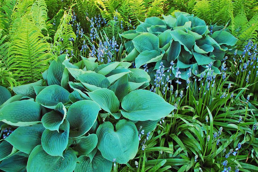 Funkia sina o niebieskich liściach, a takze sadzenie, stanowisko, uprawa, pielęgnacja, wymagania