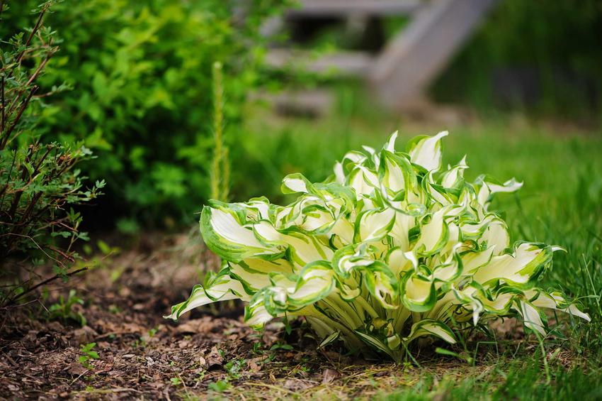 Biała funkia rosnąca w ogrodzie, a także odmiany, stanowisko, sadzenie, uprawa i pielęgnacja
