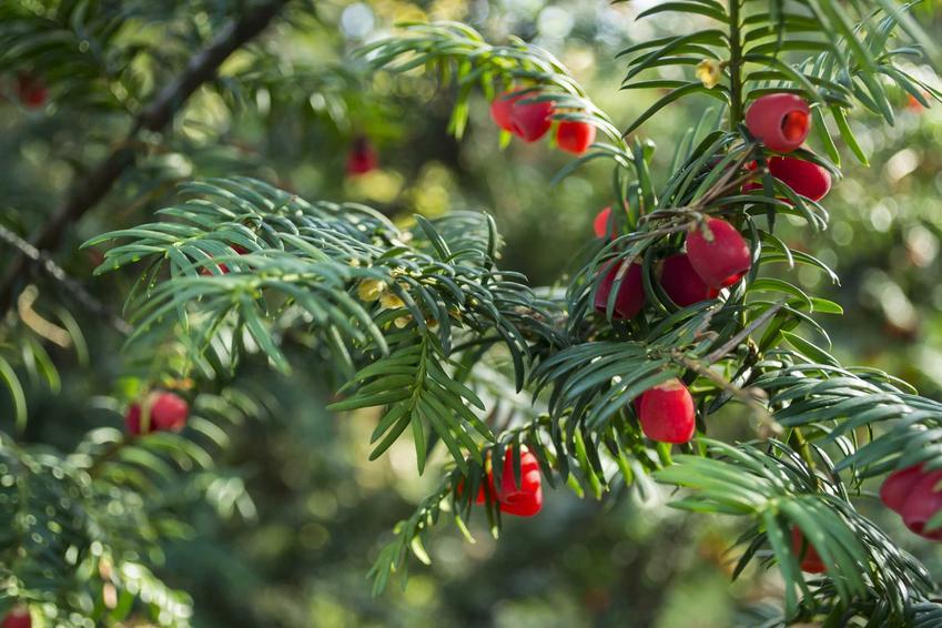 Cis kolumnowy o zielonoszarych igłach i czerwonych owocach, a także odmiany, wymagania, uprawa i pielęgnacja krok po kroku