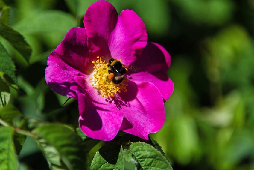Kwiat róży francuskiej (Rosa gallica) o fioletowch kwiatach zapylany przez pszczołę, a także odmiany, pielęgnacja i uprawa