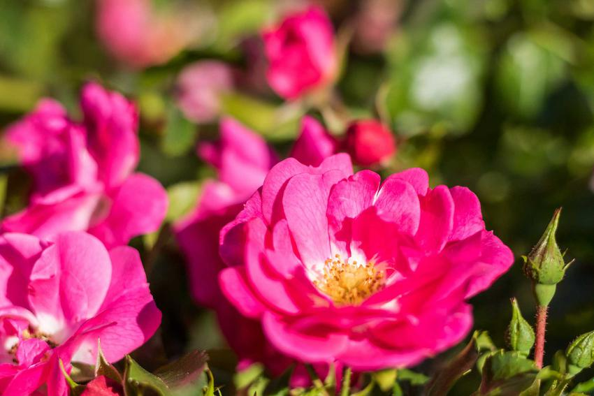 Liczne różowe kwiaty róży francuskiej (Rosa gallica), a także odmiany, uprawa oraz pielęgnacja krok po kroku