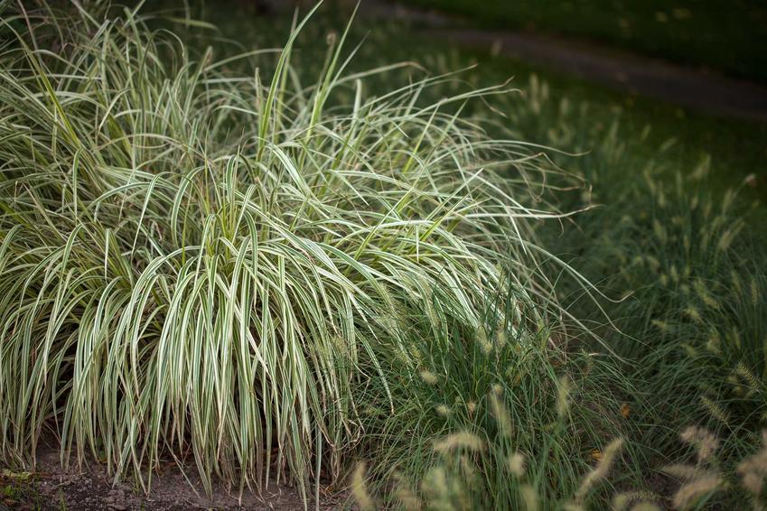 Duża kępa trawy turzyca morrowa w ogrodzie, a także odmiany, uprawa, pielęgnacja, zastosowanie i cena sadzonek