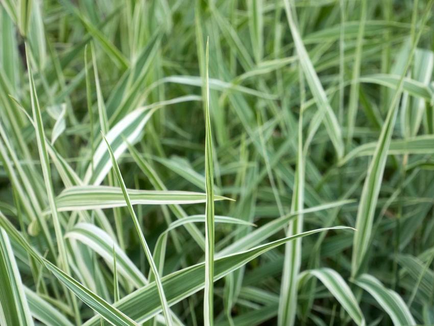 Zielone źdźbła trawy turzyca morrowa o białych krawędziach, a także odmiany, uprawa, cena oraz pielęgnacja