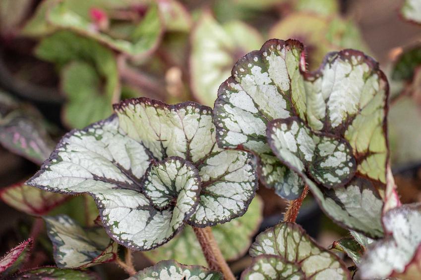 Begonia królewska o białych, nakrapianych liściach, a także uprawa, pielęgnacja i odmiany tej rośliny doniczkowej
