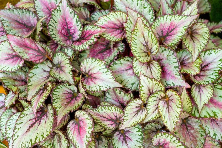 Begonia królewska o różowo-białych liściach, a także uprawa, pielęgnacja i stanowisko dla tej rośliny doniczkowej