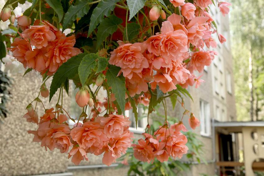 Begonia zwisająca o łososiowych kwiatach, idealna do doniczki i na balkon, a także sadzenie, uprawa oraz pielęgnacja krok po kroku