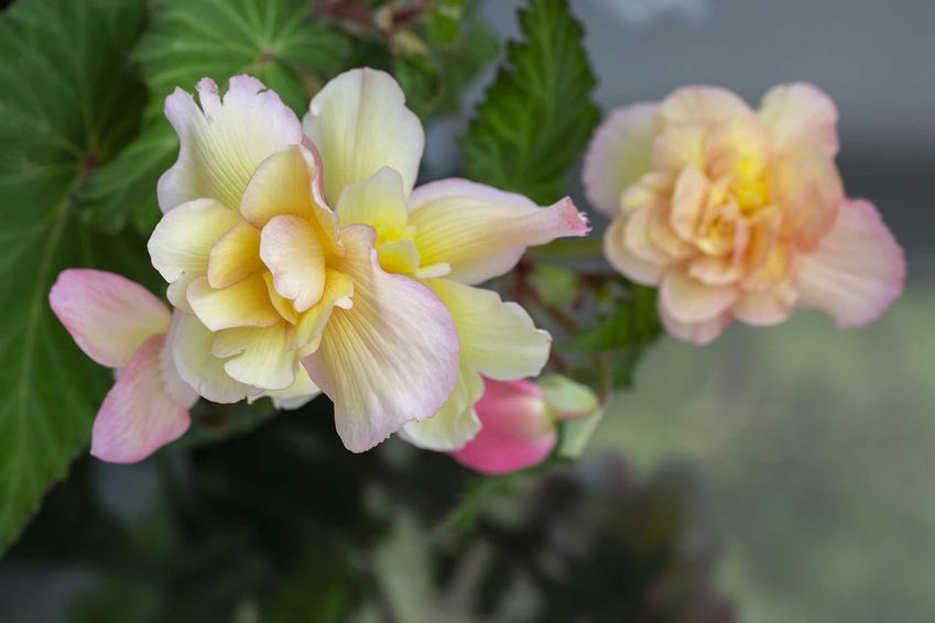 Begonia zwisająca o biało-różowych kwiatach na balkonie, a także uprawa, pielęgnacja, sadzenie i wymagania rośliny