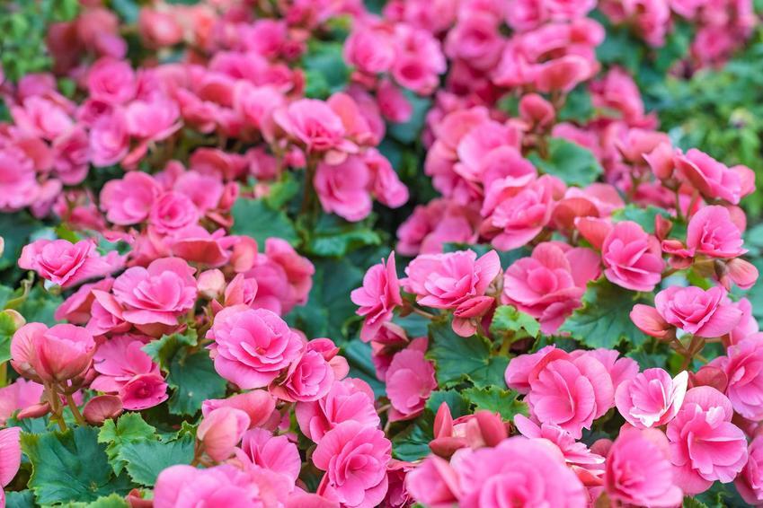 Ciemnoróżowe kwiaty begonii Elatior, a także begonia zimowa na balkon i do ogrodu, zastosowanie, sadzenie i wymagania