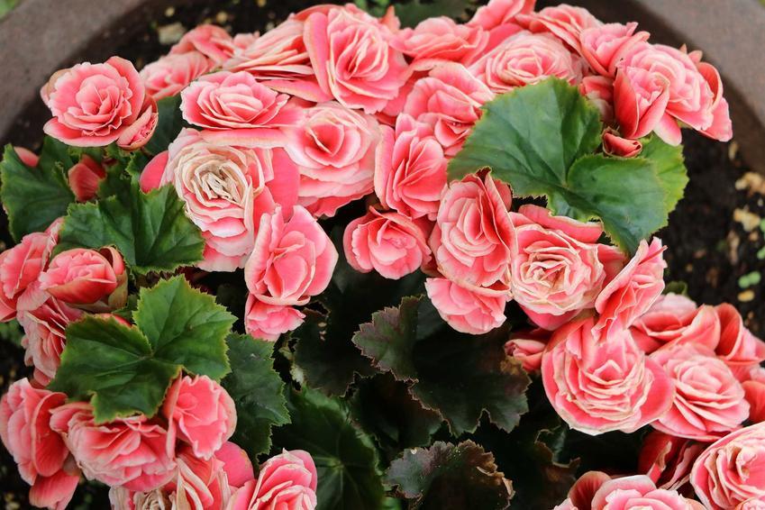 Jasnoróżowe kwiaty begonii Elatior w ogrodzie, a także begonia zimowa krok po kroku: pielęgnacja na balonie i w gruncie, sadzenie i wymagania