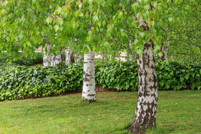 Brzoza brodawkowata oraz ciekawe i polecane drzewa ozdobne do ogrodu, czyli najpiękniejsze drzewa i krzewy ozdobne w ogrodzie