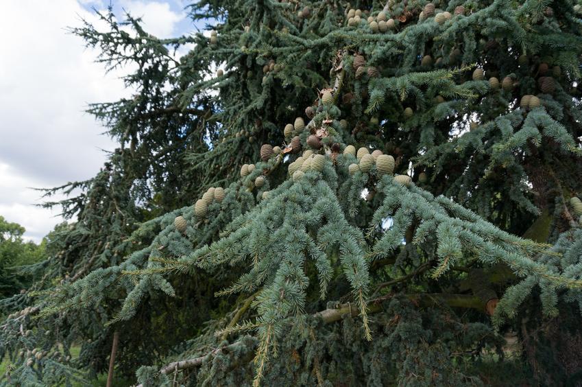 Cedr atlaski oraz ciekawe i polecane drzewa ozdobne do ogrodu, czyli najpiękniejsze drzewa i krzewy ozdobne w ogrodzie