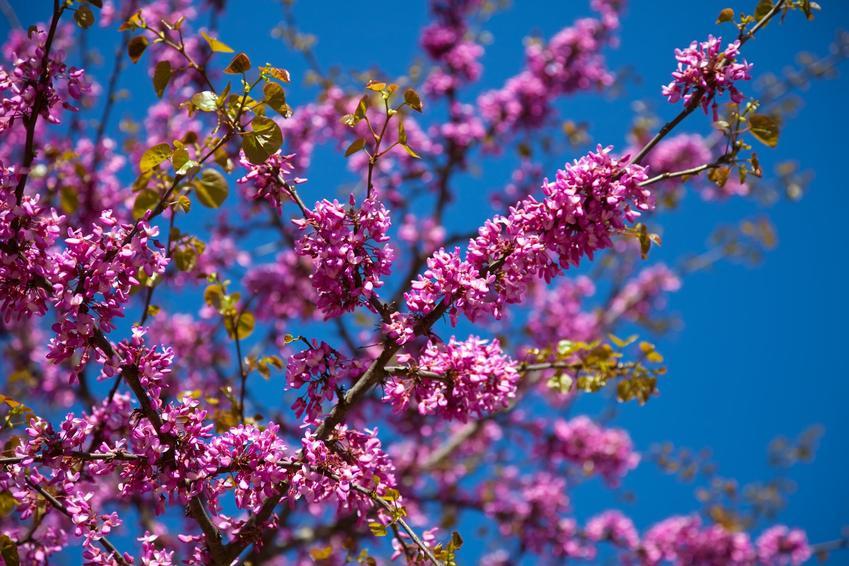 Judaszowiec wschodni oraz ciekawe i polecane drzewa ozdobne do ogrodu, czyli najpiękniejsze drzewa i krzewy ozdobne w ogrodzie