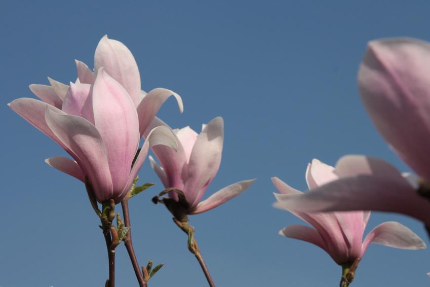 Magnolia Loebnera oraz ciekawe i polecane drzewa ozdobne do ogrodu, czyli najpiękniejsze drzewa i krzewy ozdobne w ogrodzie