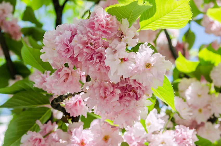 Wiśnia piłkowana oraz ciekawe i polecane drzewa ozdobne do ogrodu, czyli najpiękniejsze drzewa i krzewy ozdobne w ogrodzie