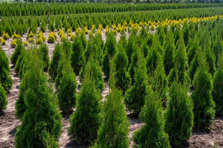Żywotnik zachodni oraz ciekawe i polecane drzewa ozdobne do ogrodu, czyli najpiękniejsze drzewa i krzewy ozdobne w ogrodzie